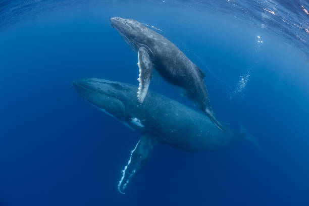 Mother and Calf Humpback Whales Mom and calf humpback whales make their way toward the surface in Tonga. cetacea stock pictures, royalty-free photos & images