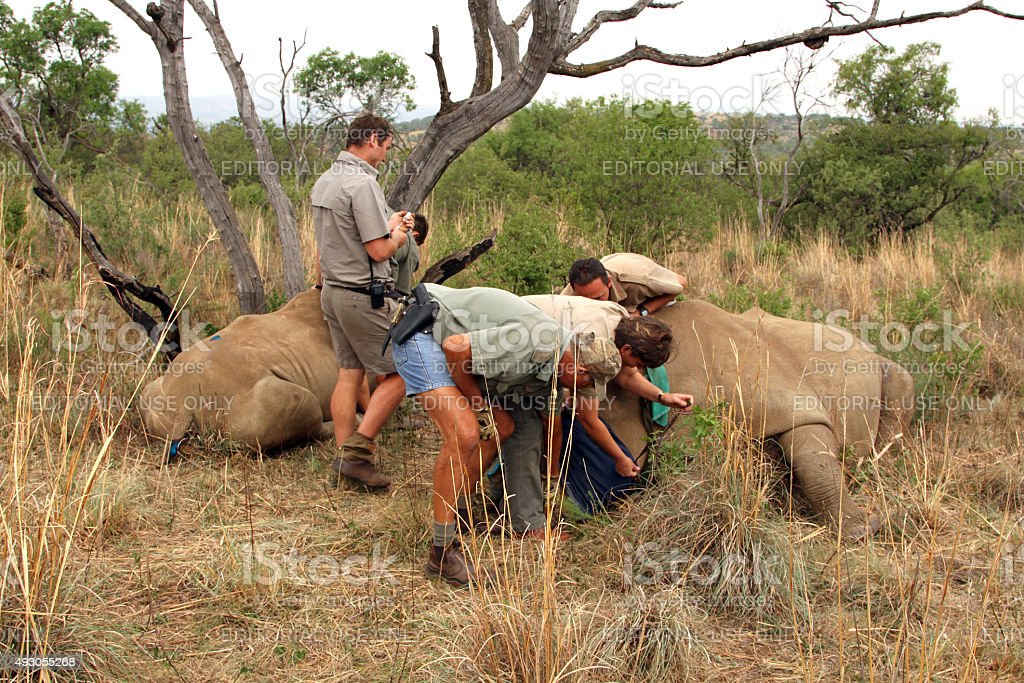 Mother and calf rhino been wakened with injection after dehornin stock photo