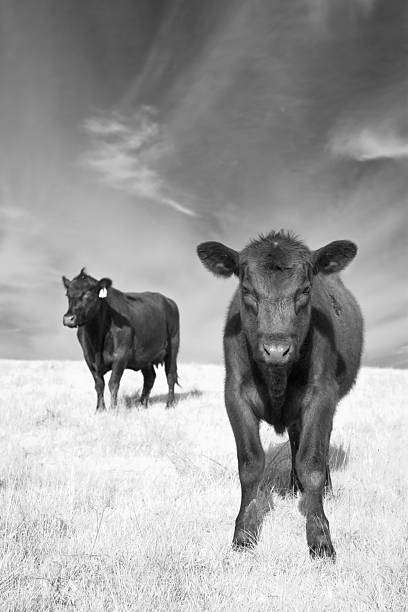 Mother and Child Angus Cows stock photo