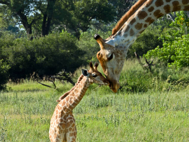 Mother and child giraffe rub noses stock photo