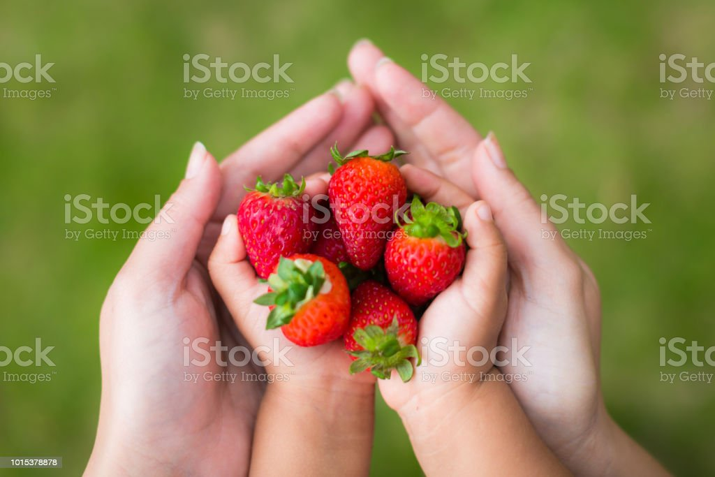 A mother and child holding fresh ripe strawberries in their hands, hand picked from the garden. stock photo