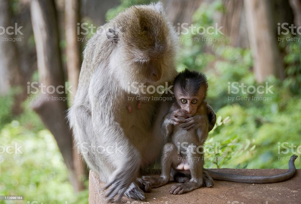 Mother And Child Macaque Monkeys royalty-free stock photo