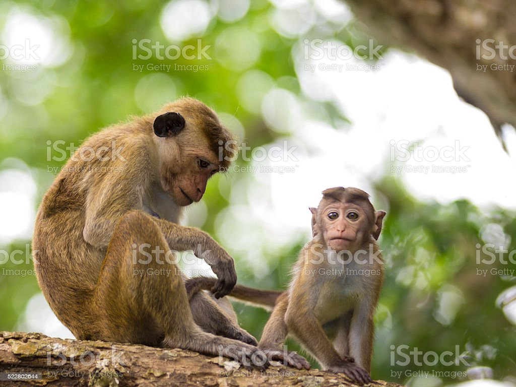 Mother and child Monkey Endemic to Sri Lanka stock photo