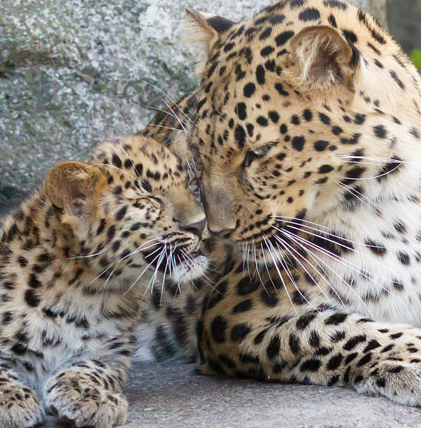 mother and child - amurleopard bildbanksfoton och bilder