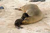 Female Galapagos Sea Lions (Zalophus californianus wollebaeki). The cub is only a few weeks old.