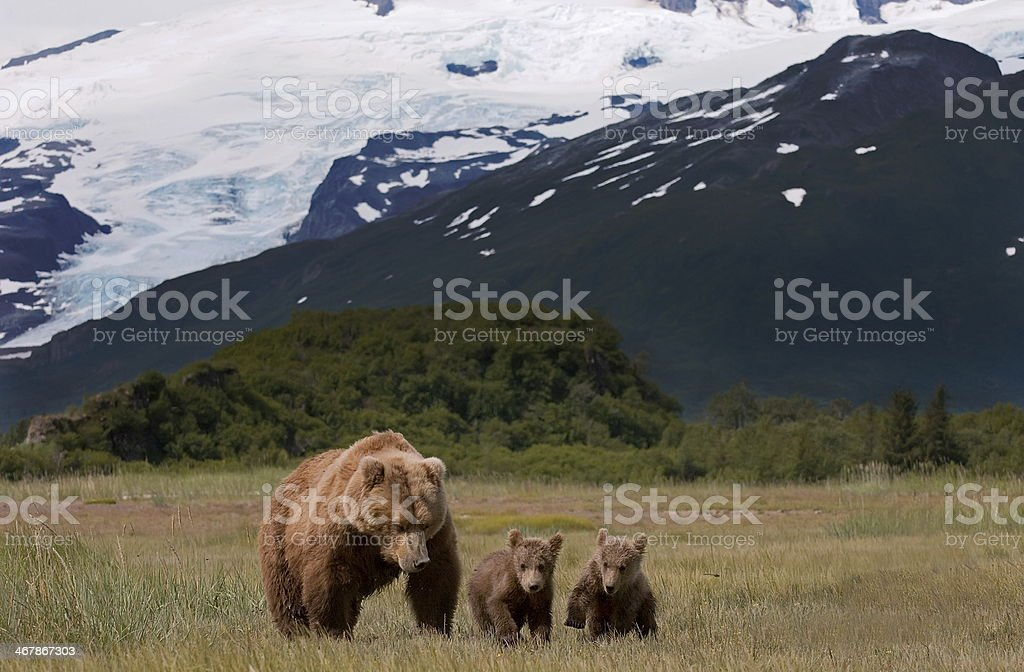 mother and cubs brown bears stock photo