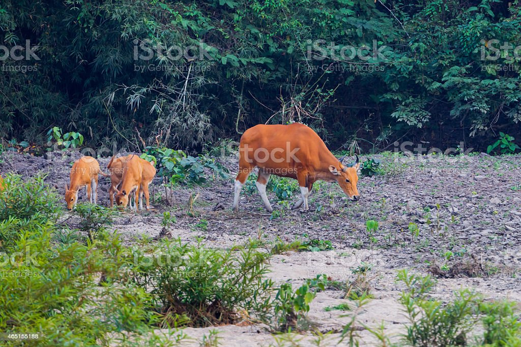 Mother and cups of Banteng(Bos javanicus ) stock photo