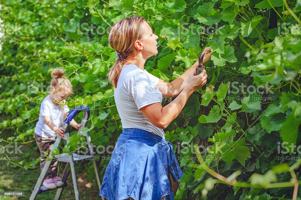 Mother And Daughter Pruning Grape Vine in Garden Together stock photo