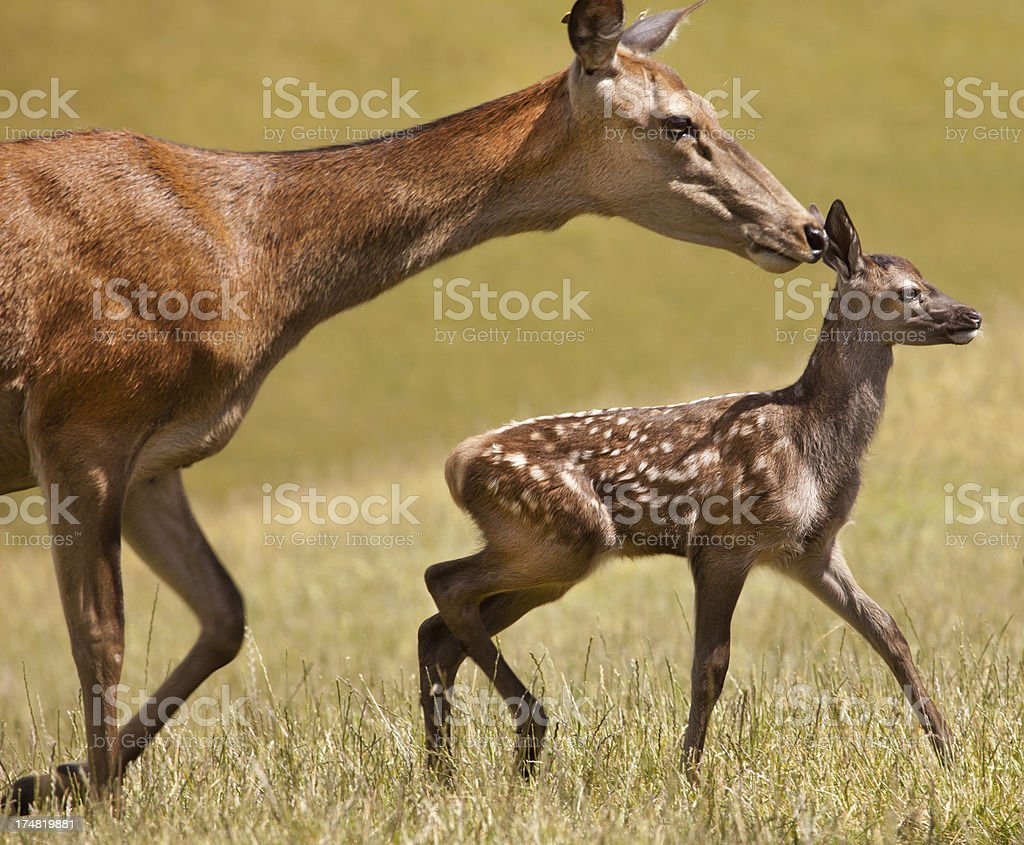 Mother and fawn, Nelson, New Zealand royalty-free stock photo