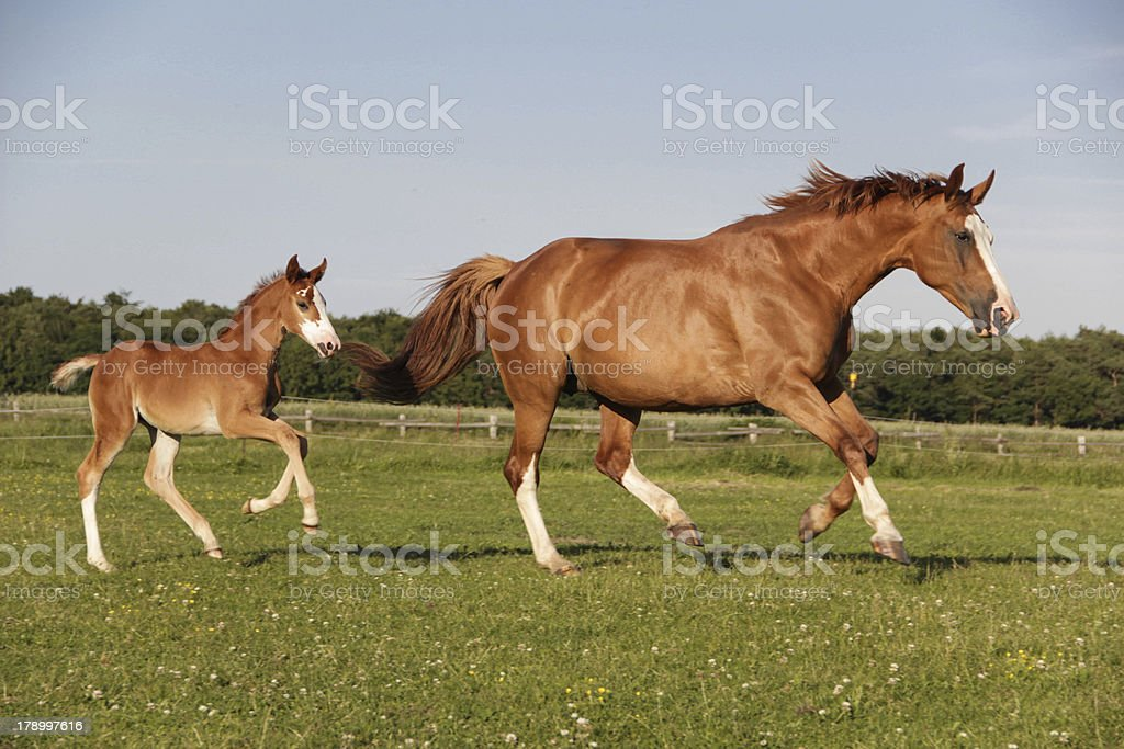 Mother and foal running stock photo