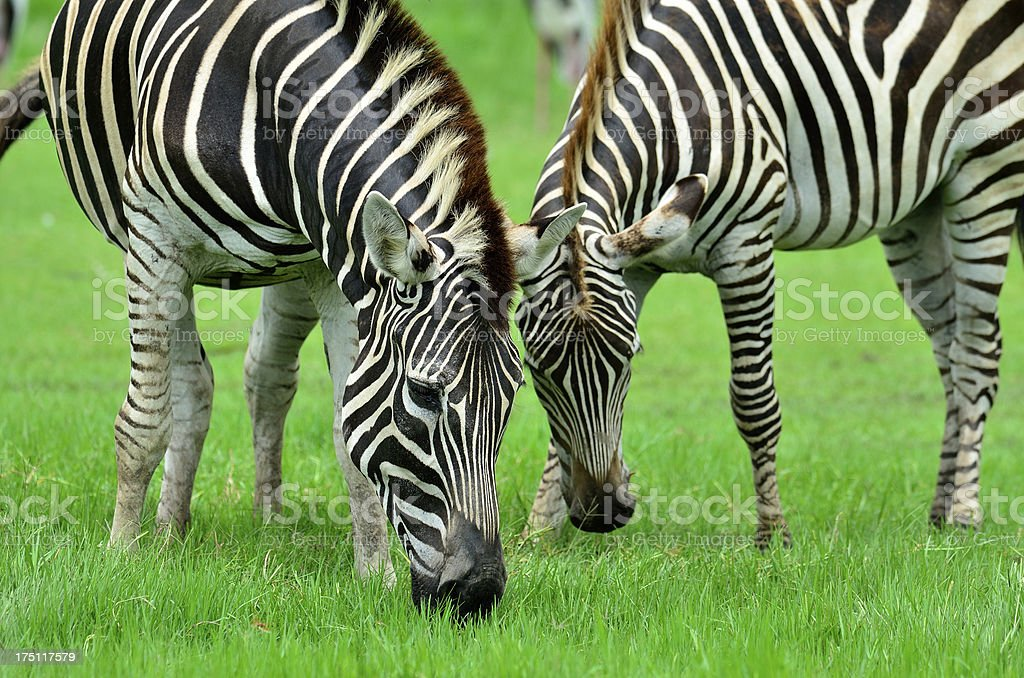 Mother and foal taking food in the green grass field royalty-free stock photo