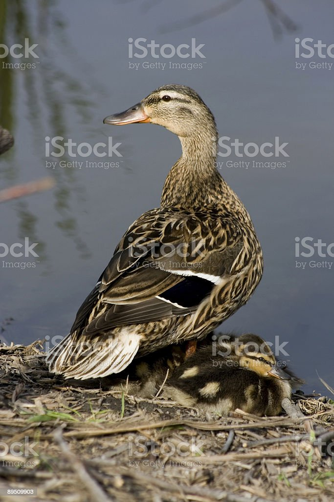 Mother and her Ducklings 免版稅 stock photo