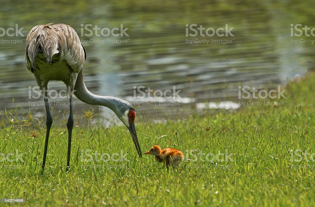 Mother and Infant Sandhill Crane in Orlando Florida royalty-free stock photo