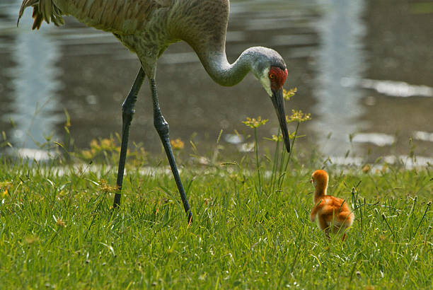 Mother and Infant Sandhill Crane in Orlando Florida stock photo