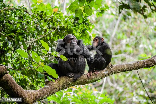 Mother and juvenile chimpanzees on a tree branch. Taken in the wild in Africa.