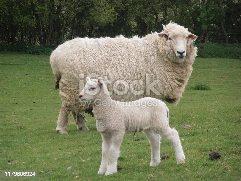 Mother Sheep And Lamb In A Field