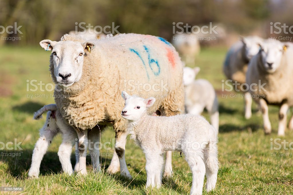 Mother and lamb stock photo