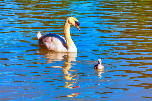 Mother and little swan on the water . Gracious white swan with little bird swimming together