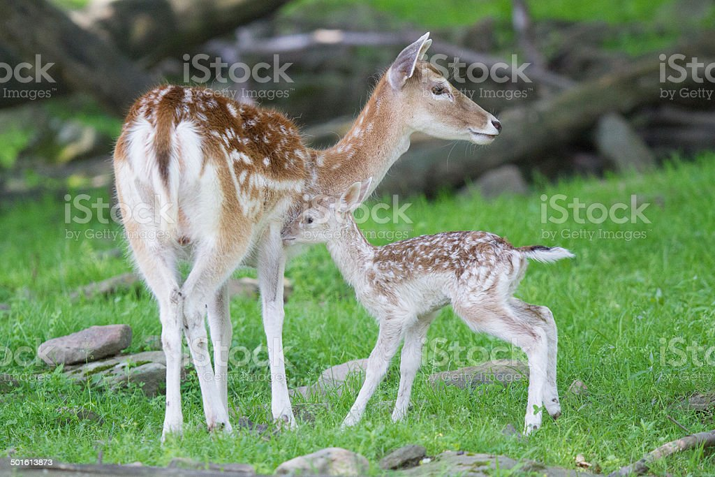 Mother and New Born Fallow Deer stock photo