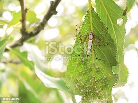 Macro photography of newborn White Lynx Spider (Oxyopes cf. shweta) nest with copy space. The mother White Lynx Spider take care and protect many her babies on a leaf in tropical garden all the time.
