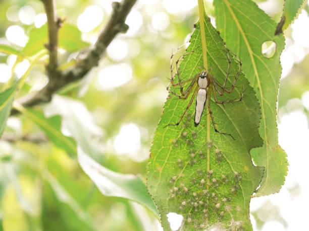 mutter und neugeborene weiß lynx spider-nest - jagdthema schlafzimmer stock-fotos und bilder