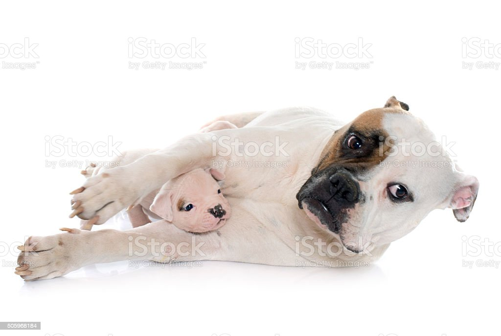 Mother And Puppies American Bulldog Stock Photo More Pictures Of