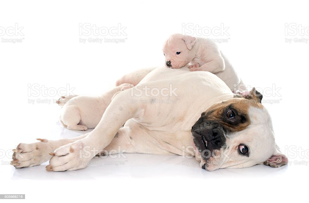 Mother And Puppies American Bulldog Stock Photo Istock