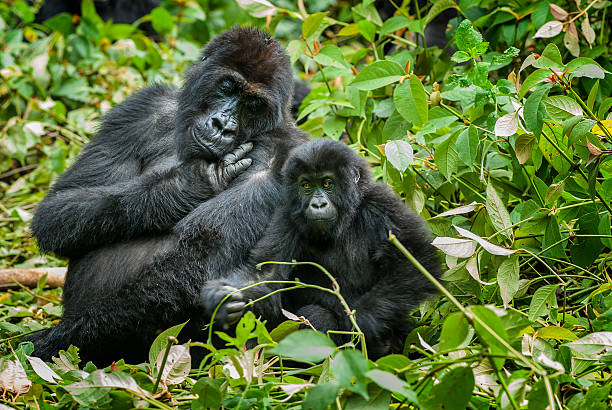 mother and son eastern lowland gorilla, congo, wildlife shot - gorilla stock photos and pictures