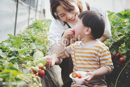 An asian mother and son harvesting strawberries in a plastic greenhouse.
