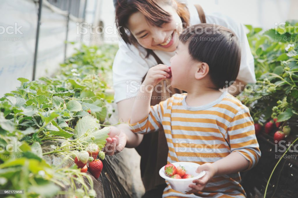 Mutter und Sohn Ernte Erdbeeren – Foto