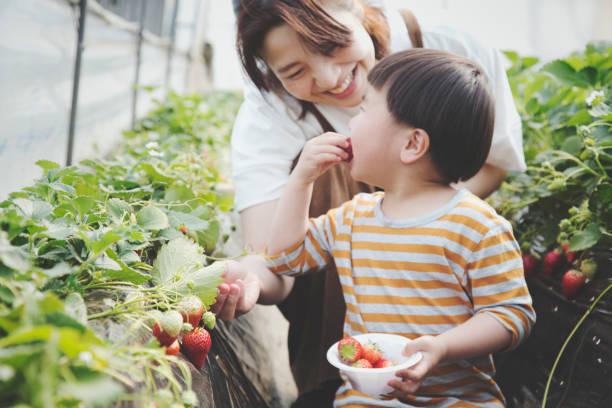 mother and son harvesting strawberries - picking fruit imagens e fotografias de stock
