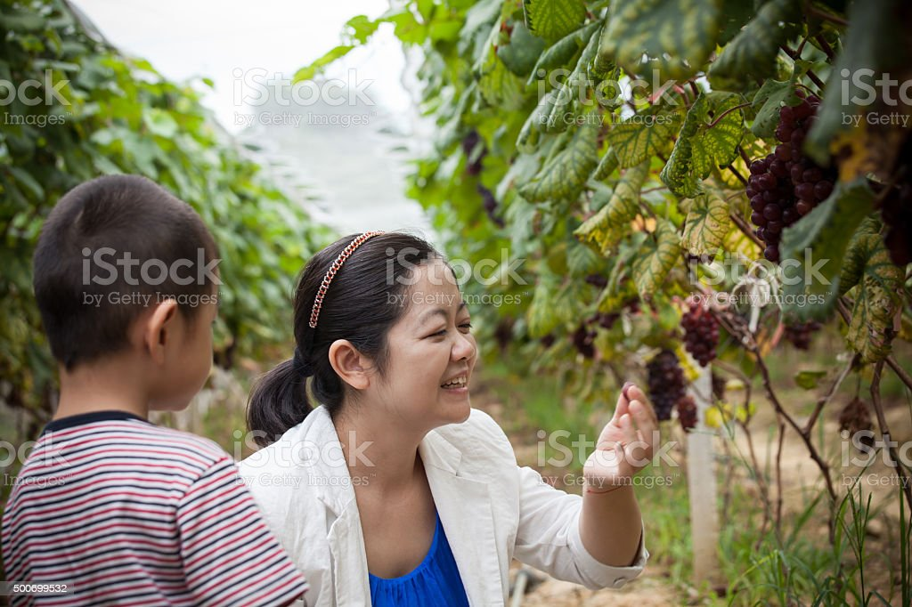 Mother and Son Pick Grapes stock photo