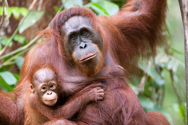 Mother and son A Mother of orangutan  and her little son (few month) at Semenggoh NP in Sarawak Borneo animal family stock pictures, royalty-free photos & images