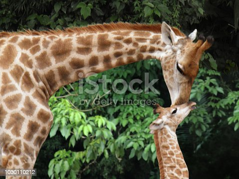 Mother giraffe leans her long neck to kiss the forehead of her just born baby. Lush vegetation is behind them.