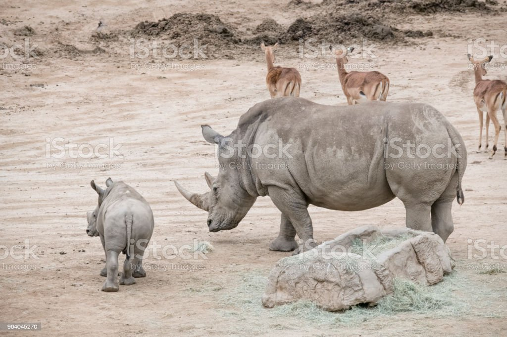 Mother and son Rhinos - Royalty-free Africa Stock Photo