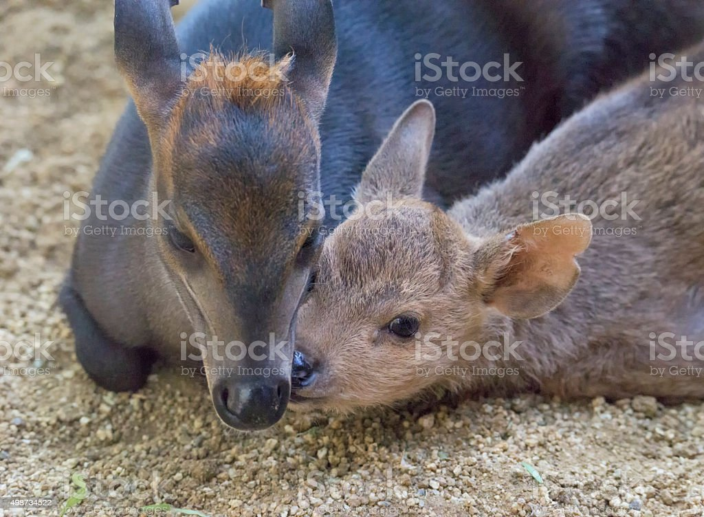 Mother and young Black Duiker stock photo