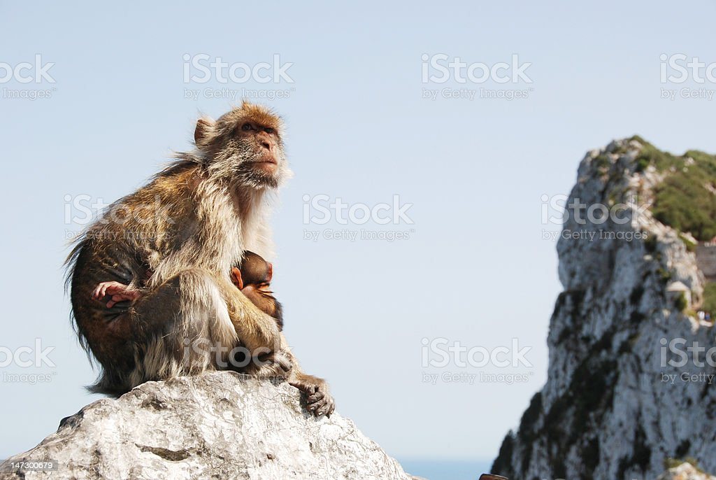 Mother Ape With Baby Breastfeeding On Rock At Gibraltar stock photo