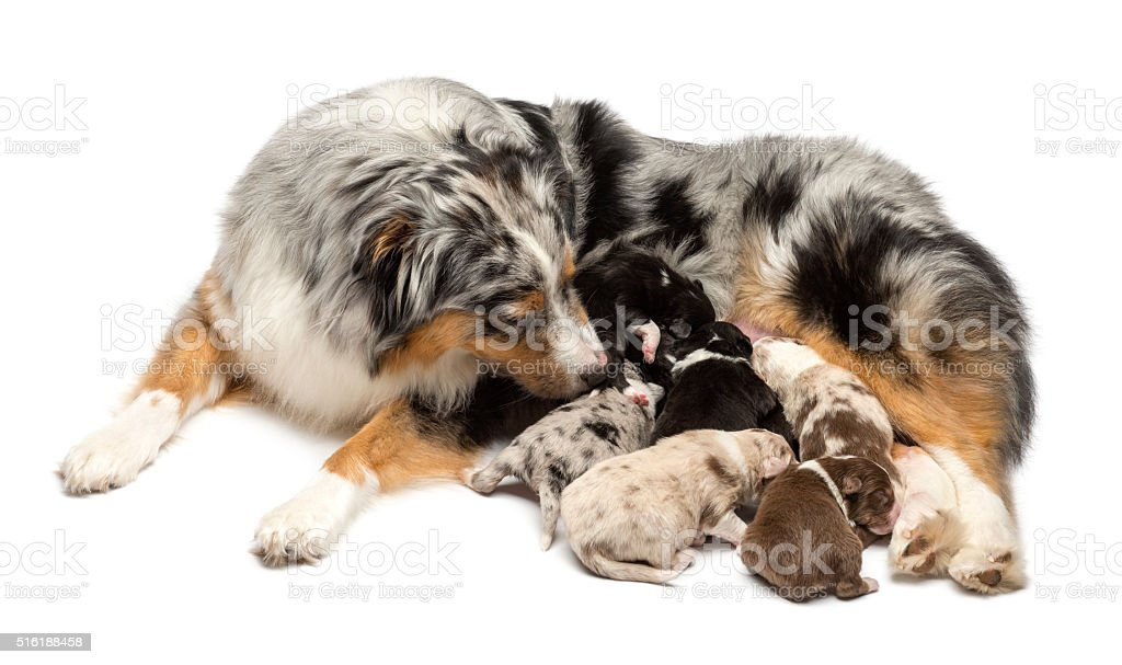 Mother Australian Shepherd with its 7 day old puppies suckling stock photo