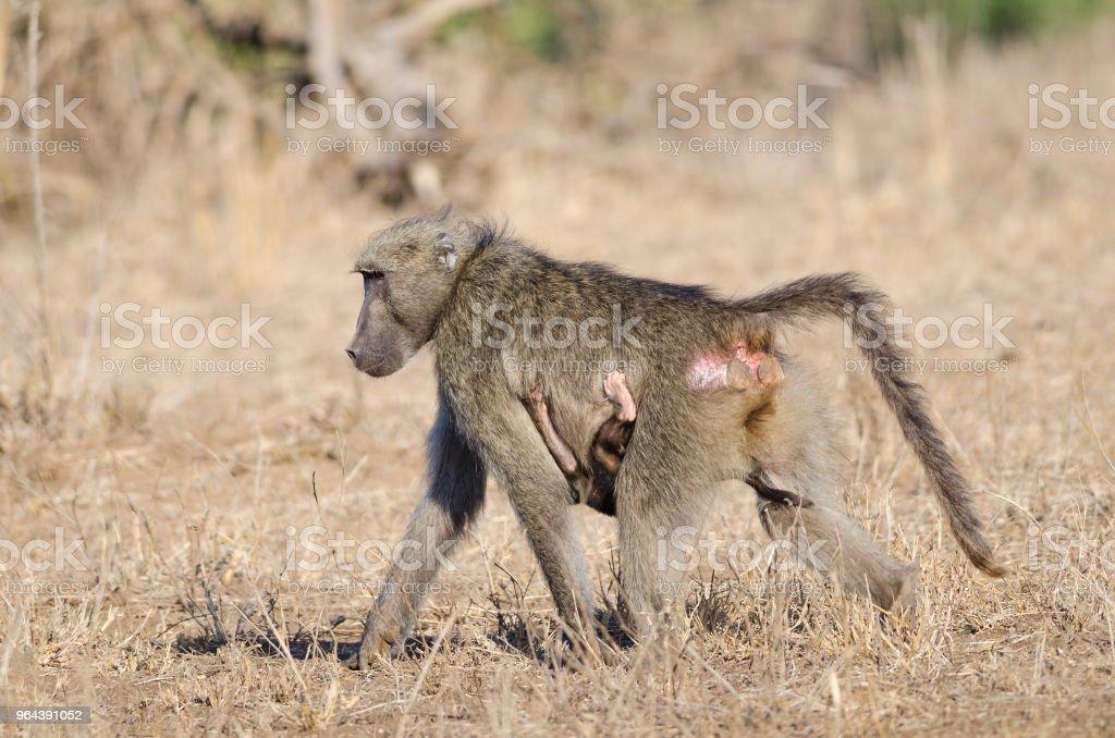 Babuíno mãe com criança pendurado na - Foto de stock de Andando royalty-free