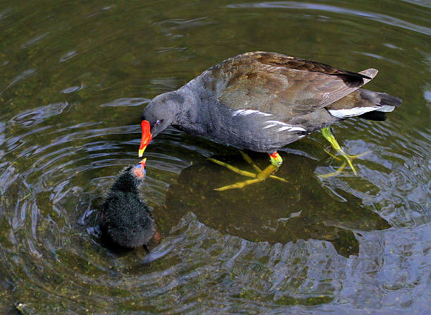 Mother & Baby Moorhen stock photo