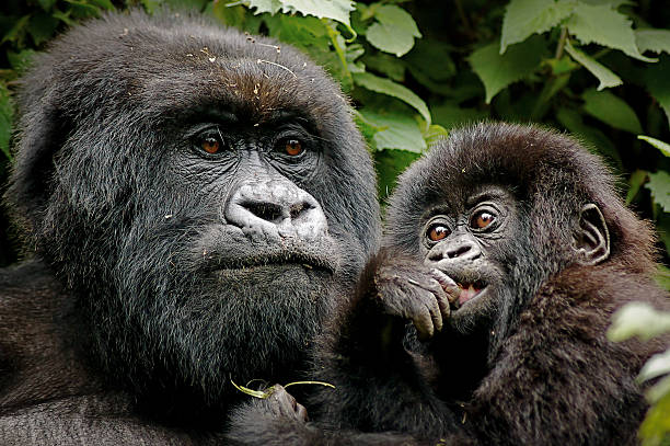 mother & baby - gorilla stock photos and pictures