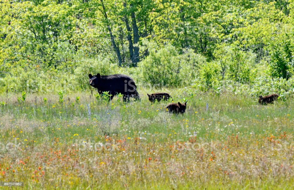 Mother bear and three cubs forage on the edge of a forest in spring stock photo
