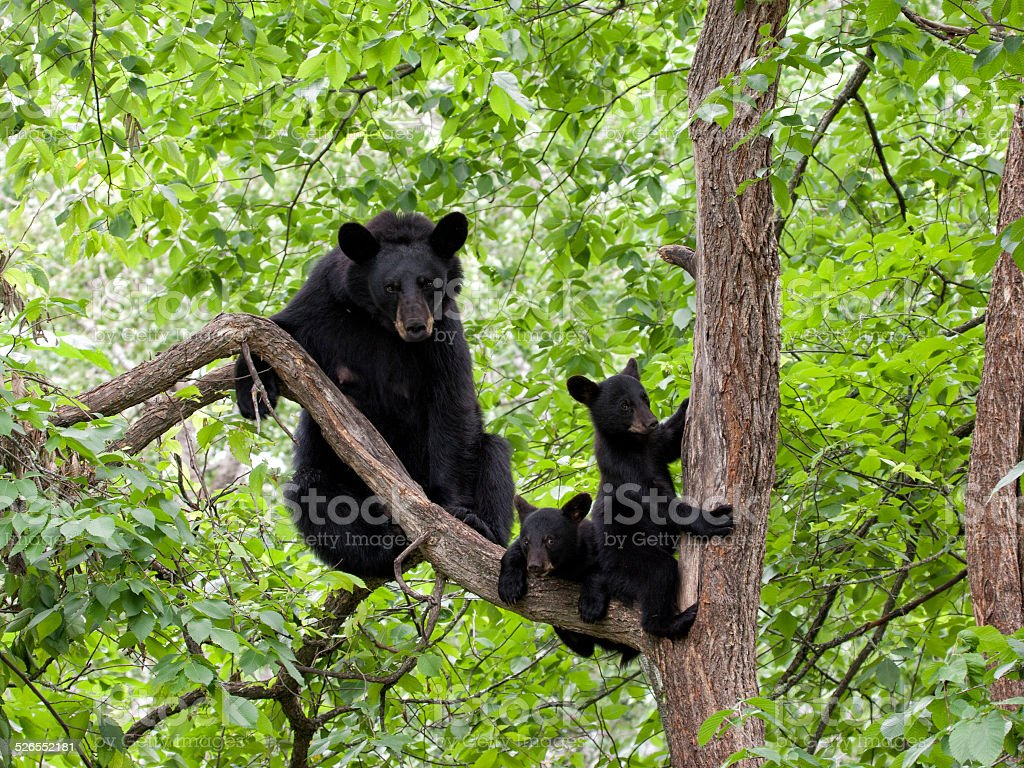 Mother Bear and Two Cubs in a Tree stock photo