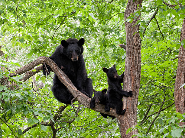 Mother Bear and Two Cubs in a Tree Black bear with two adorable cubs in a tree. cub stock pictures, royalty-free photos & images