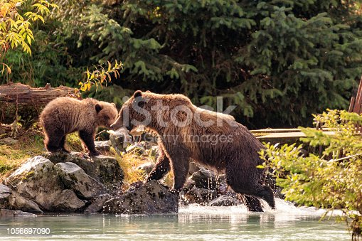 Mother bear fishing with cubs in Chilkoot river, Haines Alaska