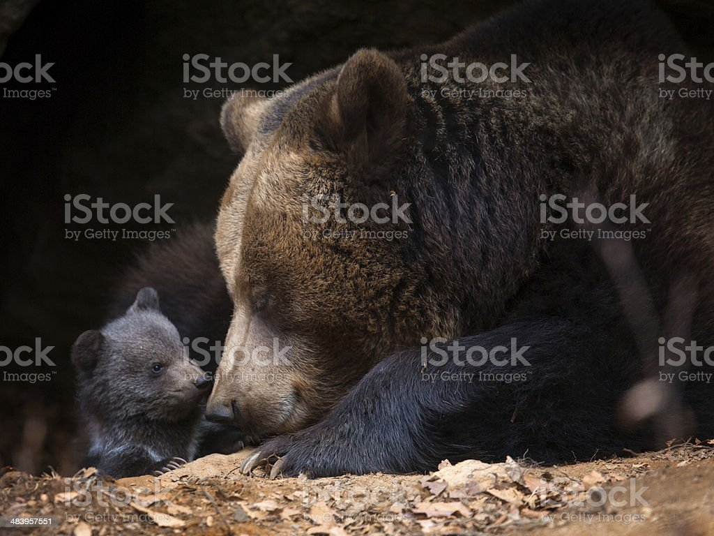 Mother bear with cub look out of her cave stock photo