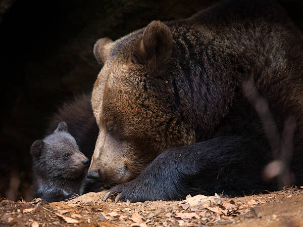 Mother bear with cub look out of her cave Mother bear with baby bear cub stock pictures, royalty-free photos & images