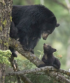 black bear cubs in the wild