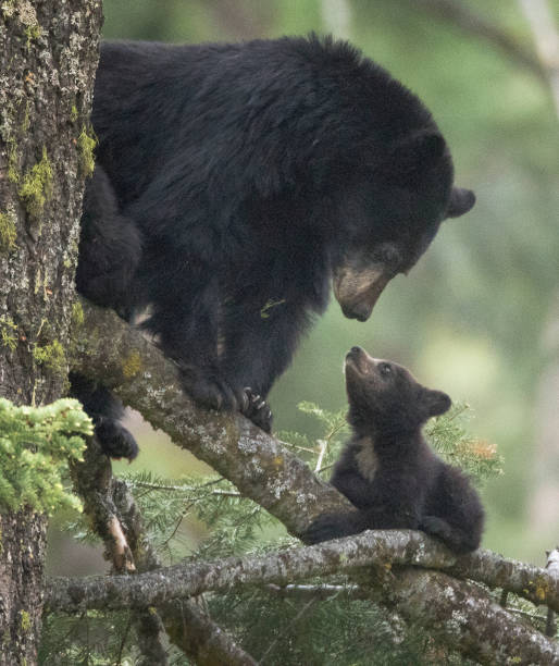 Best American Black Bear Stock Photos, Pictures & Royalty