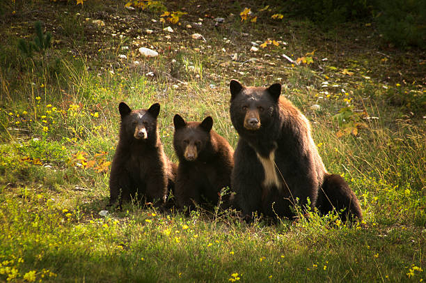 mother bear with her two cubs. - bears 個照片及圖片檔